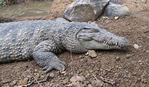 crocodile écolo
