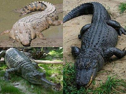 Aligatore