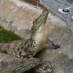 Crocodile déifié