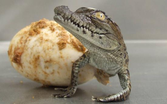 Le-bebe-alligator