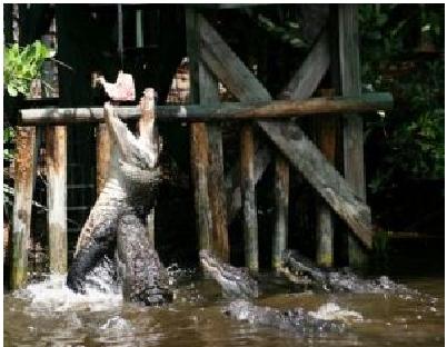 nourrissage aligator