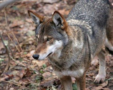 dévouement du loup