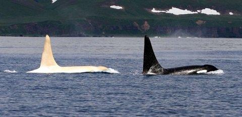 orque baleine