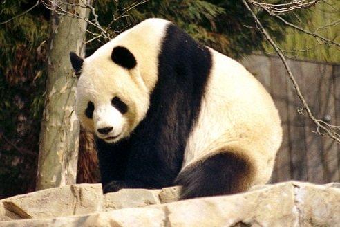 Panda chez francesca
